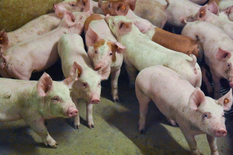 groep jonge varkens in de stal