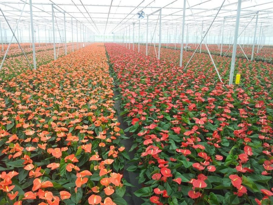 Greenhouse full of orange and red blooming anthurium plants