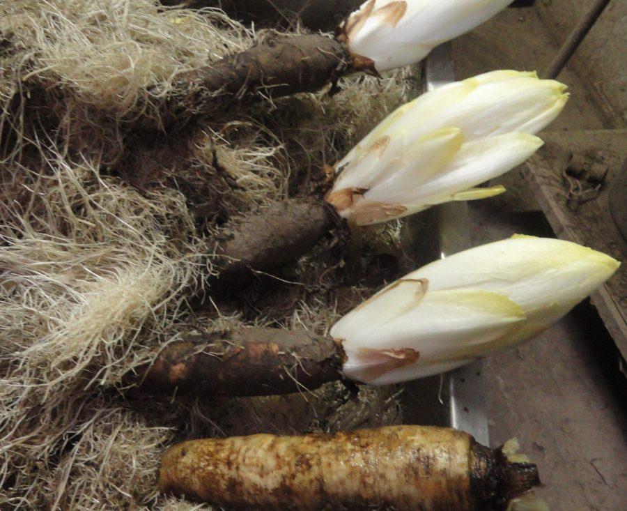 witloofwortel