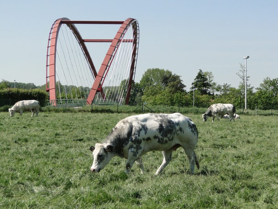 cow with bridge in background