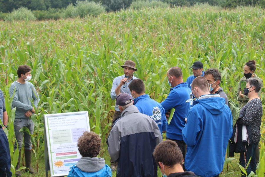 Mixed crop of silage maize and climbing bean at PPAE Hansbeke