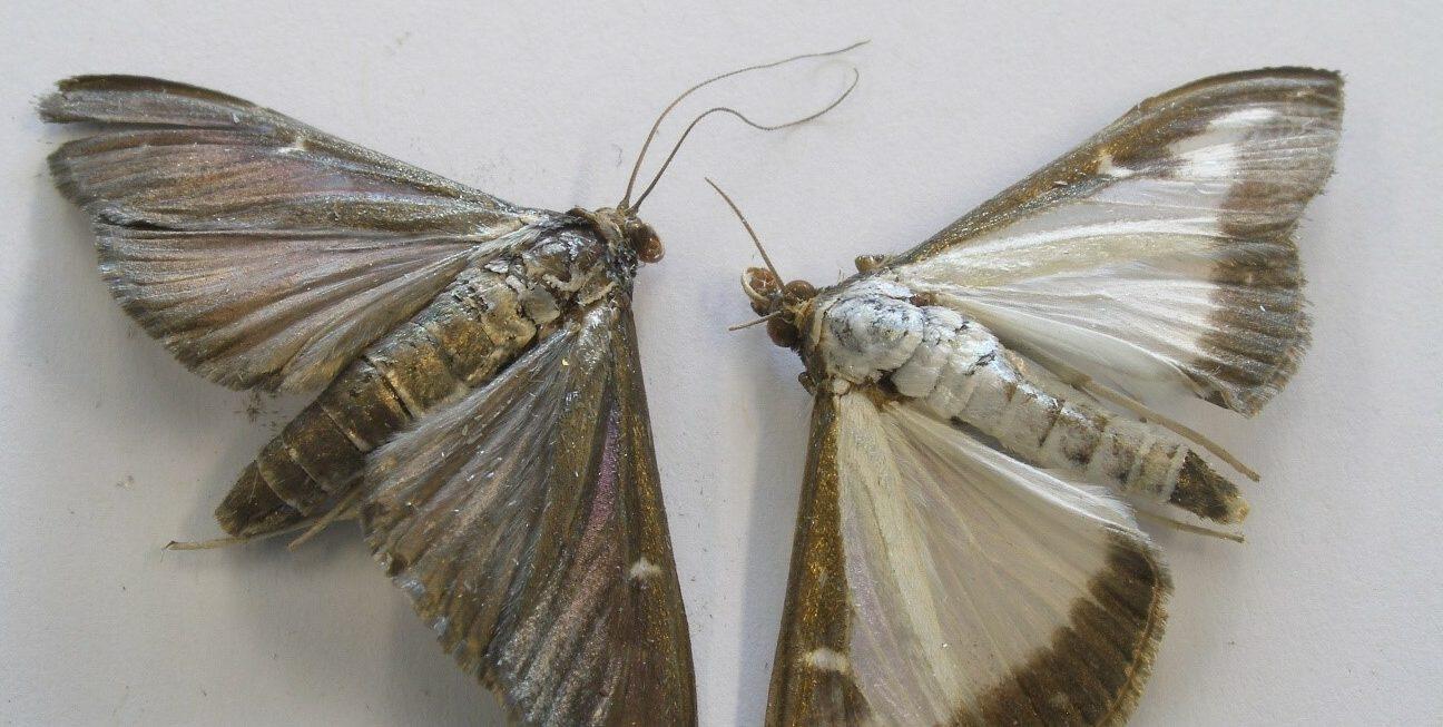 Twee buxusmotten in vlinderstadium