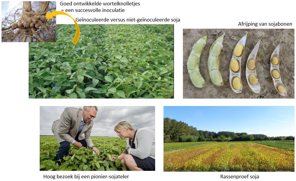 Evoluties binnen het soja-onderzoek in Vlaanderen.