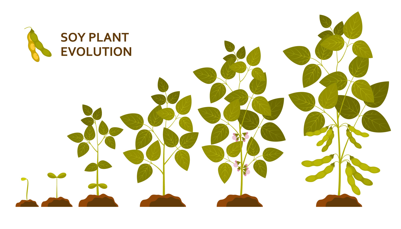 sojaplant-evolutie