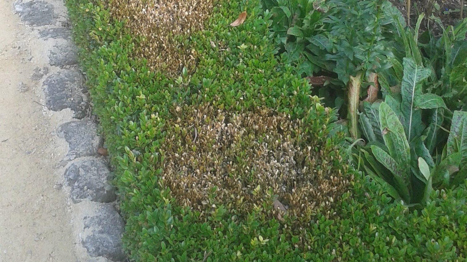 Buxushaag met schade
